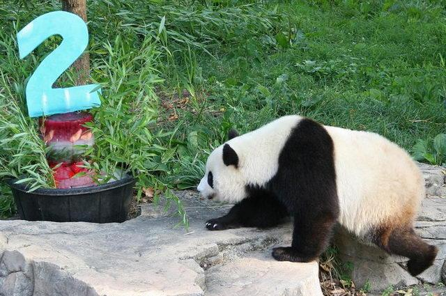 July 9, 2007: Tai Shan approaches his popsicle birthday cake. Tai Shan was born July 9, 2005 at 3:41 a.m. He is the first surviving giant panda cub born at the Smithsonian National Zoo. D.C. Mayor Adrian Fenty once called Tai Shan Washington's most important citizen. He was originally supposed to be sent to China when he turned 2, but under an agreement with the Chinese government, the zoo kept him for an additional two years.