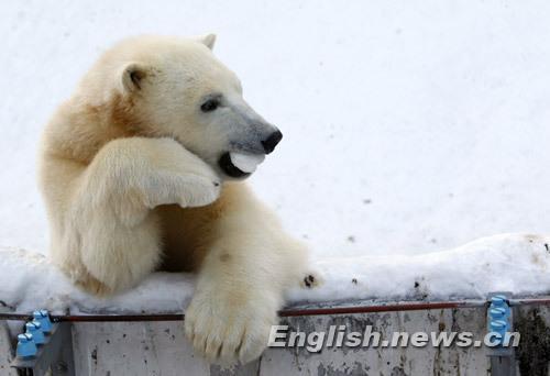 One-year-oldpolarbearIkorplaysatSapporoMaruyamaZooinSapporo,northernJapan,January18,2010.ThemalecubswerebornonDecember9,2008.(Xinhua/Reuters)
