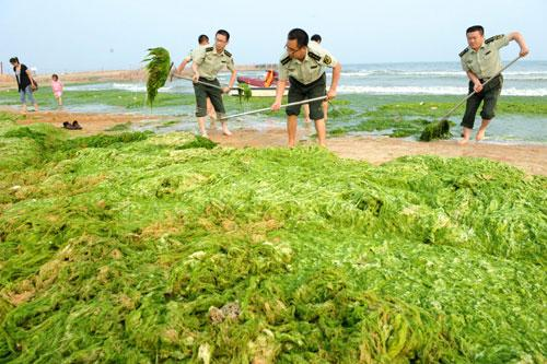 Police officers from Huangdao frontier guard bridgade clean green algae along the beach in Qingdao, east China's Shandong province, June 27, 2010. As large amounts of the algae are washing ashore, the city implemented a series of plans to prevent plague triggered by the algae.(Xinhua)