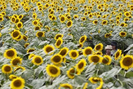Visitors walk through a maze of sunflowers during a sunflower festival in Nogi town, north of Tokyo July 26, 2010. About 180,000 sunflowers were in full bloom during the annual summer festival.(Xinhua/Reuters Photo)