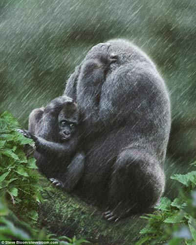 It never rains but it pours: The mother gorilla and her baby both look despairing after being caught in a torrential rain shower in Apenheul Primate Park, in the Netherlands.