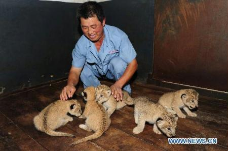 A breeder takes care of five newborn african lions in Yantai, east China's Shandong Province, Aug. 4, 2010. A female African Lion gave birth to five little lions on July, 24. (Xinhua/Chu Yang)