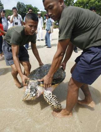 Thai navy sailors carry a 10-year-old Hawksbill turtle into the sea at the Sea Turtle Conservation Center of the Royal Thai Navy, in Sattahip, Chonburi province, east of Bangkok August 10, 2010. More than 700 endangered green and Hawksbill sea turtles were released ahead of the 78th birthday of Queen Sirikit.(Xinhua/Reuters Photo)