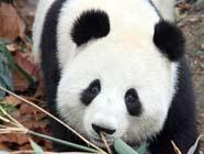 В Китае будут выпущены в дикую природу выведенные в неволе большие панды