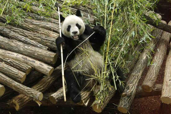 Giant pandas adapt to new home in France CCTV News - CNTV English