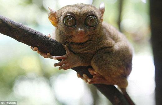 眼镜猴群体中还通用着一种秘密语言