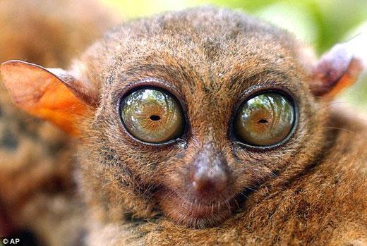 菲律宾眼镜猴会用超声波进行交流
