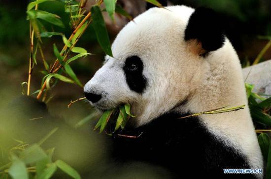 Giant Panda Channel The Male Giant Panda Ying Ying