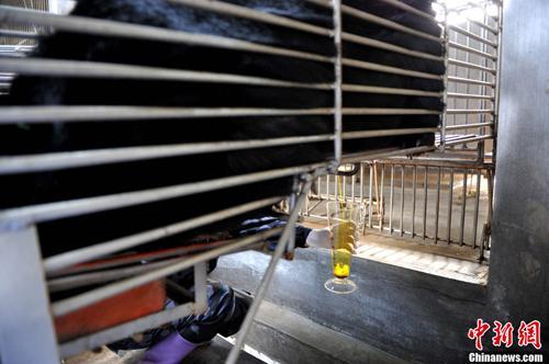 """2月22日,归真堂""""黑熊养殖基地""""对外开放,这个备受关注的""""开放日""""吸引了来自海内外百余名媒体记者。图为""""活熊取胆""""过程,胆汁顺着引流管出来。王东明摄"""