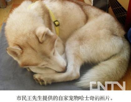 """枣庄 山东/上图为23日抓获的""""母狼"""",下图为哈士奇宠物主人提供的照片。"""