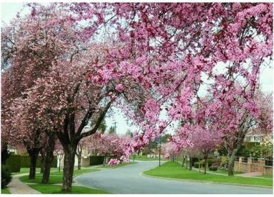 Cctv paysages des fleurs de cerisier au printemps - Taille du pecher au printemps ...