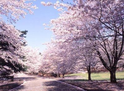 Paysages des fleurs de cerisier au printemps