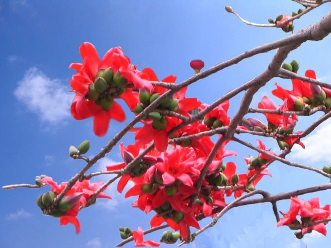 每年春天,广州处处绽放的木棉花成为这座城市最独特的风景,英雄花映红了英雄城,更引起市民对革命先烈的缅怀。目前,羊城木棉花势正盛,去年广州市林业和园林局组织新栽种的1900多株木棉基本全部成活。由于前两月广州持续潮湿阴雨,光照不足,使得今年春季羊城木棉花色红中带黄,倒也形成了一道独特的景观。 广州市林业和园林局有关专家说,木棉花的颜色与光照、气温、土壤酸碱度等多种因素密切相关,由于每年气候不尽相同,花色发生细微变化不足为奇。 纪念堂木棉开得特别旺盛 要说广州的木棉王,当属中山纪念堂北门那株327岁