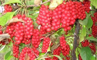 果皮及成熟种皮含木脂素