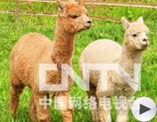 第四届魅力农产品:羊驼