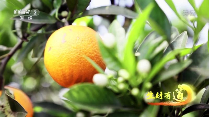 """《生财有道》 20201126 咱们家乡有特产——重庆忠县:又到""""忠橙""""丰收季"""