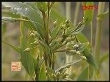 四川:受追捧的薏米