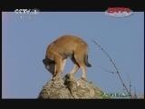 雌狼萨娜特(上)[人与自然] 20120102