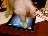 小猫在IPAD上玩水果忍者