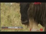 《自然传奇》 20120128 动物生存大揭秘(七)