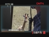 动物猎杀现场(三)[自然传奇] 20120224