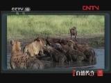 动物猎杀现场(四)[自然传奇] 20120225