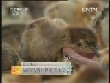 凤翔乌鸡的养殖技术