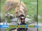 """有惊无险!狮子误认""""盘中餐"""""""