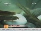 泥鳅养殖科技苑,把泥鳅苗存起来_致富经