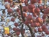 果树种植科技苑,老果树的第二春_致富经