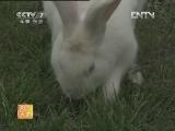 养兔农广天地,康大1号肉兔配套系的养殖技术