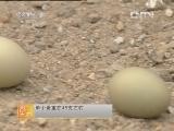 野鸡养殖农广天地,七彩山鸡的养殖技术