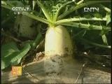 点击播放 温室白萝卜栽培技术
