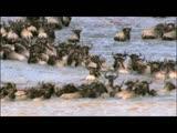 《大迁徙,角马群里的间谍》 第二集 片花