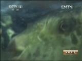 孟雪松河�鱼养殖生财有道,一条鱼和一个人的传奇
