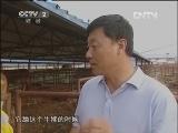 李文军养牛生财有道,牛人李大胆的财富巨变