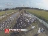 [科技苑]盐碱地上种水稻(20131125)