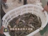 潘幼峰泥鳅养殖致富经,挣钱就靠这种大泥鳅