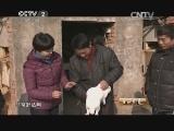 王华定养兔生财有道,三兄弟的獭兔情缘