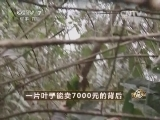 杨丽刺绣致富经,一片叶子能卖7000元的背后(20140401)