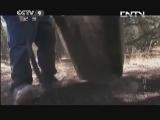 [食品技术]美国矮松林中搜集松子