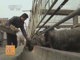 养羊技术农广天地,黎城大青羊养殖技术(2