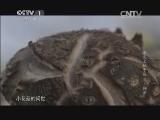[舌尖上的中国 第二季]稀有美味 野生花菇