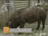 [农广天地]江口萝卜猪(20140420)