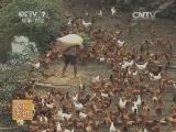 [农广天地]雪峰乌骨鸡养殖技术(20140528)