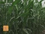 [农广天地]玉米大小斑病发生与防治(20140707)