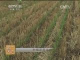[农广天地]玉米秃尖原因及预防(201400721)