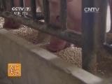 [农广天地]华农温氏1号猪配套系养殖技术(20140806)