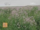 [农广天地]罗布麻种植及加工技术(20140818)
