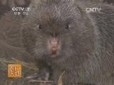 竹鼠视频:竹鼠养殖技术 (625播放)